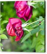 Red Rose Bud Acrylic Print
