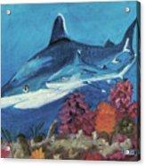 2 Reef Sharks Acrylic Print