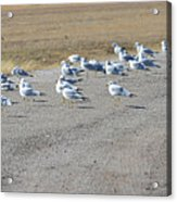 Ring Billed Gulls  Acrylic Print