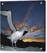 Salvins Albatross At Sunset Acrylic Print