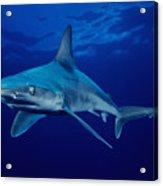 Sandbar Shark Acrylic Print