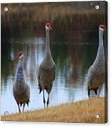 Sandhill Crane Family By Pond Acrylic Print