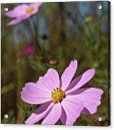 Sensation Cosmos Bipinnatus Fully Bloomed Pink Cosmos At Garde Acrylic Print