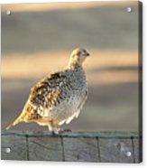 Sharp Tailed Grouse Acrylic Print