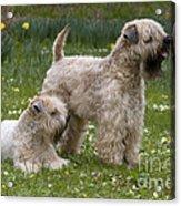 Soft-coated Wheaten Terriers Acrylic Print