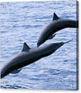 Spinner Dolphins Acrylic Print