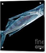 Spotfin Flyingfish Acrylic Print
