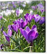 Spring Crocuses Acrylic Print