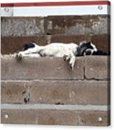 Street Dog Sleeping On Steps Acrylic Print