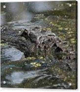 Sunbathing Gator Acrylic Print
