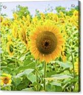 Sunflowers Field Acrylic Print