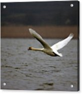 Swan During Take Off Acrylic Print