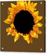 Sunflower Stretching On Brown Acrylic Print