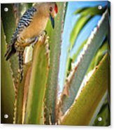 The Gila Woodpecker Acrylic Print