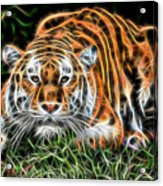 Tiger Collection Acrylic Print