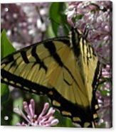 Tiger Swallowtail Butterfly Acrylic Print