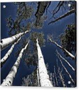 Towering Aspens Acrylic Print