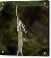 Tree Snake Eating Gecko Acrylic Print