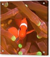 Tropical Fish Clownfish Acrylic Print