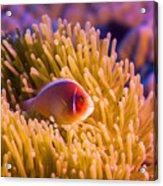 Tropical Fish Pink Clownfish Acrylic Print