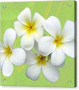 Tropical Frangrapani Acrylic Print