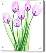 Tulips, X-ray Acrylic Print