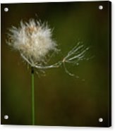 Tussock Cottongrass Acrylic Print
