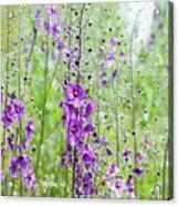 Verbascum Phoeniceum In The Meadow Acrylic Print