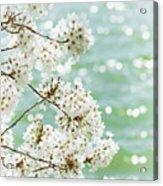 White Cherry Blossoms Trees Acrylic Print