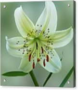 White Tiger Lily Acrylic Print
