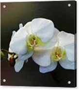 White Orchid - Doritaenopsis Orchid Acrylic Print
