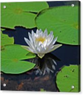 2- White Water Lily Acrylic Print