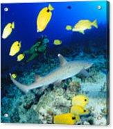 Whitetip Reef Shark Acrylic Print