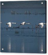 Whooper Swans In Flight Acrylic Print