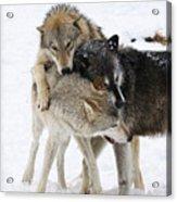 Wolf Pack Acrylic Print