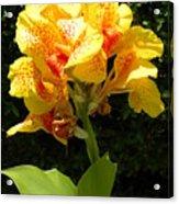 Yellow Canna Lily Acrylic Print
