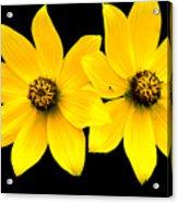 2 Yellow Daisies Acrylic Print