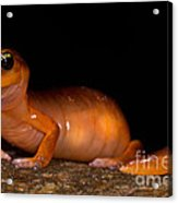 Yellow-eye Ensatina Salamander Acrylic Print