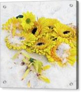 Yellow Gerbers Acrylic Print