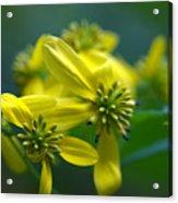 Yellow Wingstem Acrylic Print