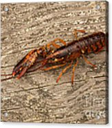 Young Lobster Acrylic Print