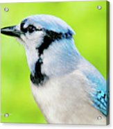 Blue Jay, Animal Portrait Acrylic Print