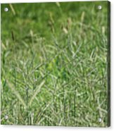 2008 Crab Grass Mead Acrylic Print