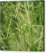 2008 Grasshopper In Green 'can You See Me...' Acrylic Print