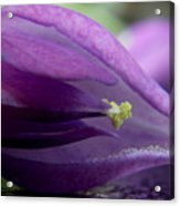 2010 Wisteria Blossom Up Close 20 Acrylic Print