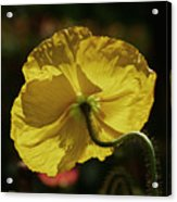 2011, Yellow Poppy Acrylic Print