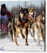2011 Limited North American Sled Dog Race Acrylic Print