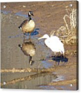2012-white Crane And Canadian Goose Acrylic Print