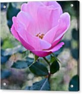 2015 After The Frost At The Garden Pink  Rose Acrylic Print