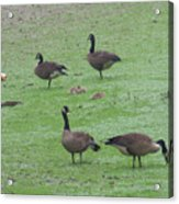 2016-canadian Geese And Babies Acrylic Print